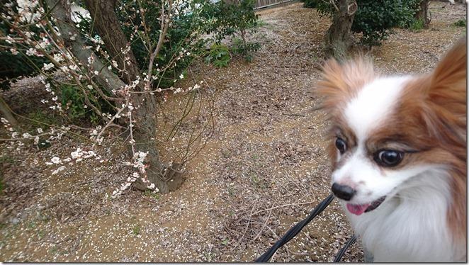 愛犬パピヨンアリアと既に散り始めの梅
