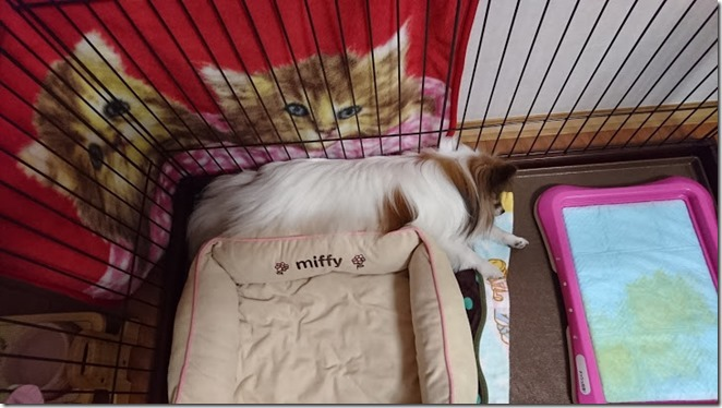 暑くなってきて冬用ベッドを避けて寝る愛犬パピヨンのアリア