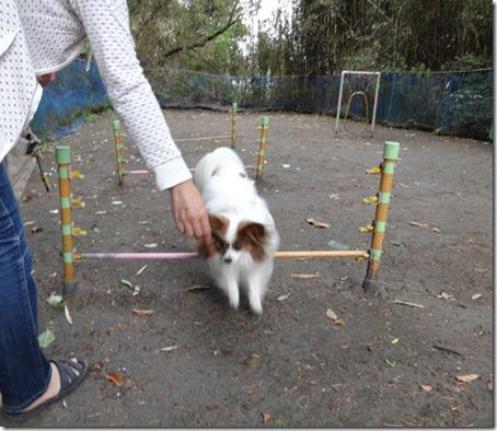 ジャンプ台をジャンプする愛犬パピヨンのアリア