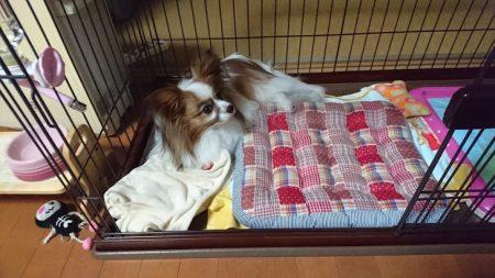 我が家の愛犬パピヨンのアリアお休み中