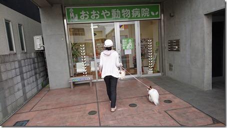 動物病院に向かう愛犬パピヨンのアリア