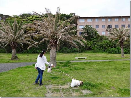 千葉県のペットと泊まれる宿しぶごえ館山の庭を散歩する我が家の愛犬パピヨンのアリア
