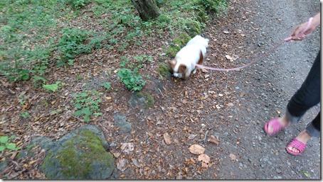 北軽井沢のペットと泊まれる宿花闊歩で朝の散歩をする我が家の愛犬パピヨンのアリア