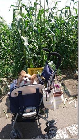 北軽井沢のペットと野菜果物狩りできる石田観光農園のトウモロコシ畑