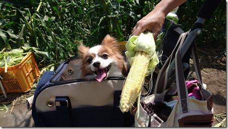 北軽井沢のペットと野菜果物狩りできる石田観光農園のトウモロコシと愛犬パピヨンのアリア