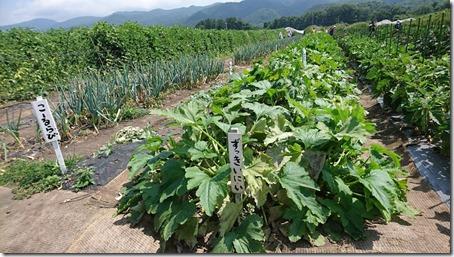 北軽井沢のペットと野菜果物狩りできる石田観光農園のズッキーニとコールラビと長ネギ