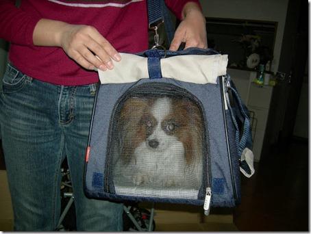 キャリーバッグの中におとなしく入っている我が家の愛犬パピヨンのアリア