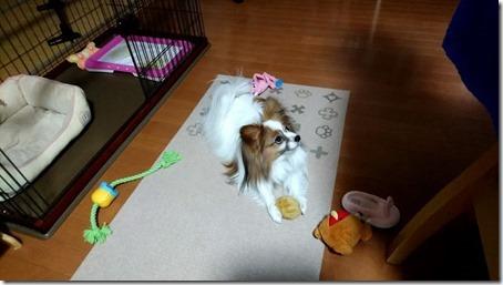 おもちゃを散らかす我が家の愛犬パピヨンのアリア
