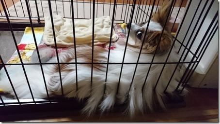 毛の量がとっても豊富な我が家の愛犬パピヨンのアリア