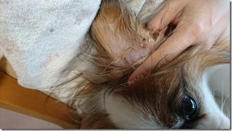 愛犬パピヨンのアリアの耳にも見られた湿疹症状