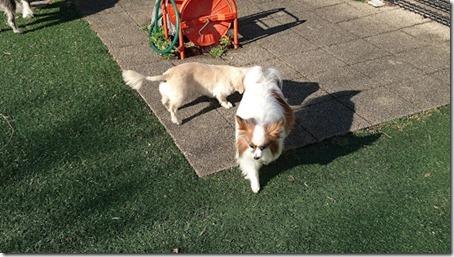 東名高速道路足柄サービスエリアのドッグランで他の犬から逃げようとする我が家の愛犬パピヨンのアリア