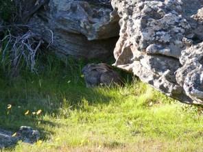 Lepus saxatilis / Scrub hare