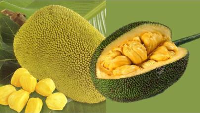 jackfruit-showing-bulbs