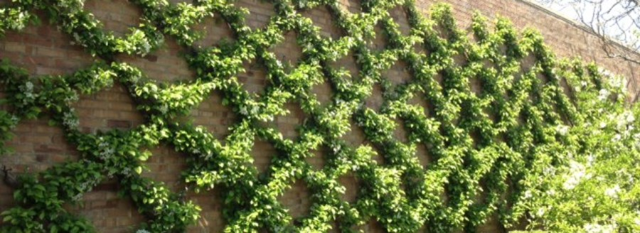 Backyards Wall Climbing Plants Featured