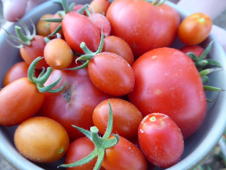 tomater rett fra hagen