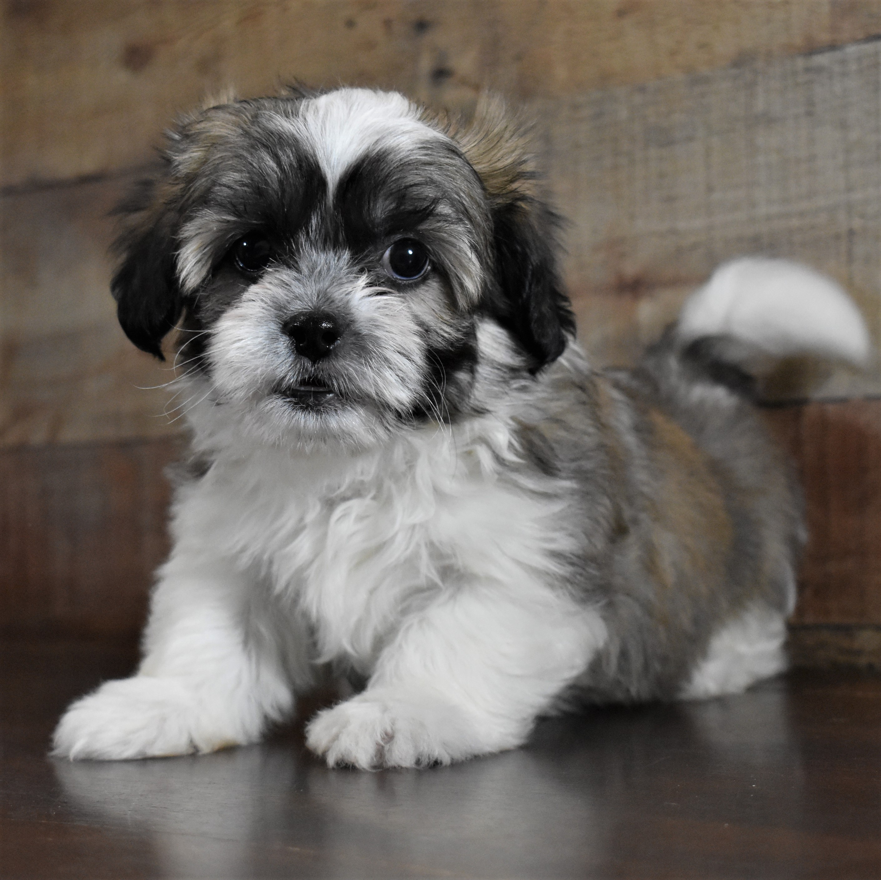 Shih Tzu M6 My Name Is Scooby Adopted To Loving Home 2 14 Pick