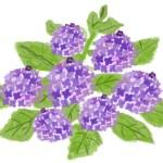たくさんの花がついた紫陽花のイラスト