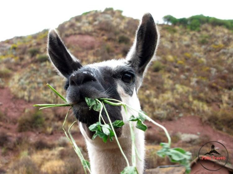 Eating alpaca