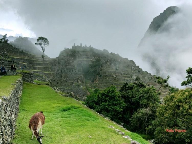 Grazing llama in Machu Picchu city