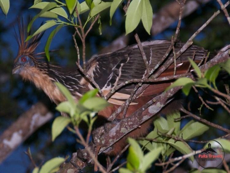 Hoatzin bird Iquitos