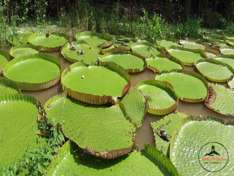 Huge water lilies Iquitos