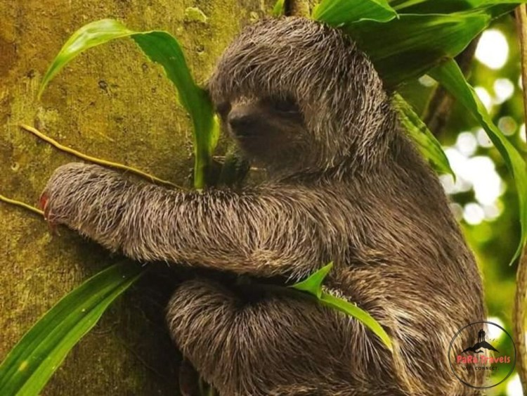 Sloth hanging in tree