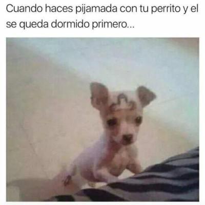 Memes chihuahuas pijamada