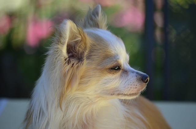 chihuahua cabeza de venado cachorro