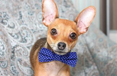imagenes de perros chihuahua 22