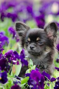 imagenes de perros chihuahua 25