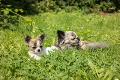 imagenes de perros chihuahua 29