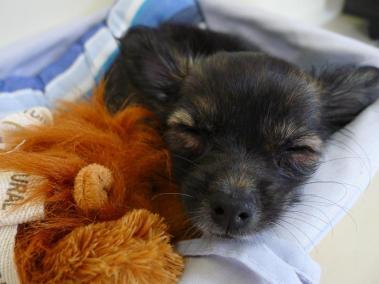 imagenes de perros chihuahua 31