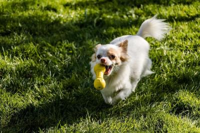 imagenes de perros chihuahua 6