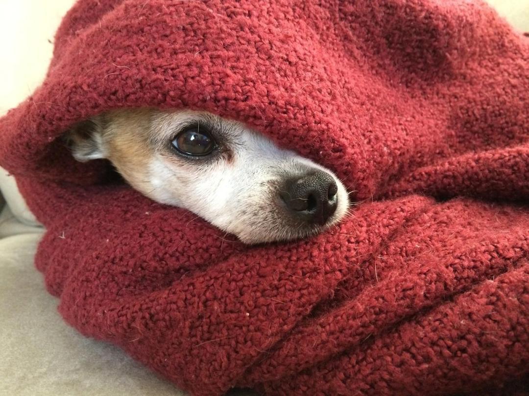 mantas para chihuahuas