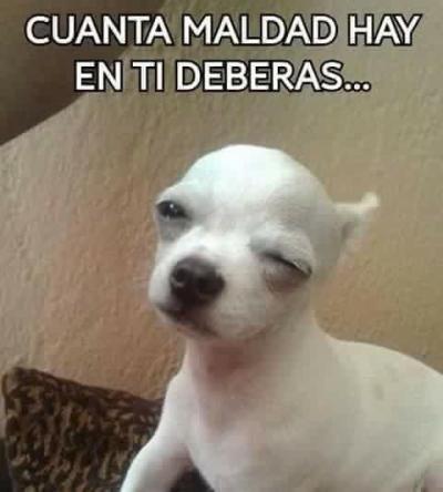 meme de chihuahuas 17