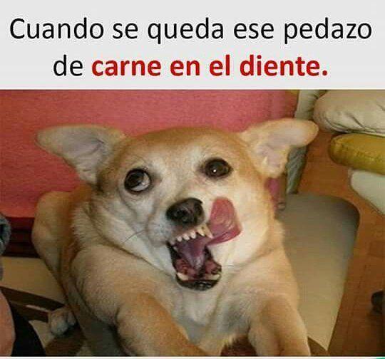 imágenes chihuahua memes