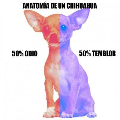 meme de chihuahuas 24
