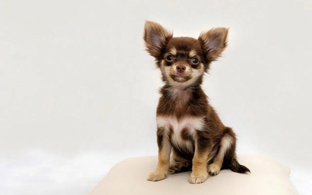 Chihuahua cabeza de manzana