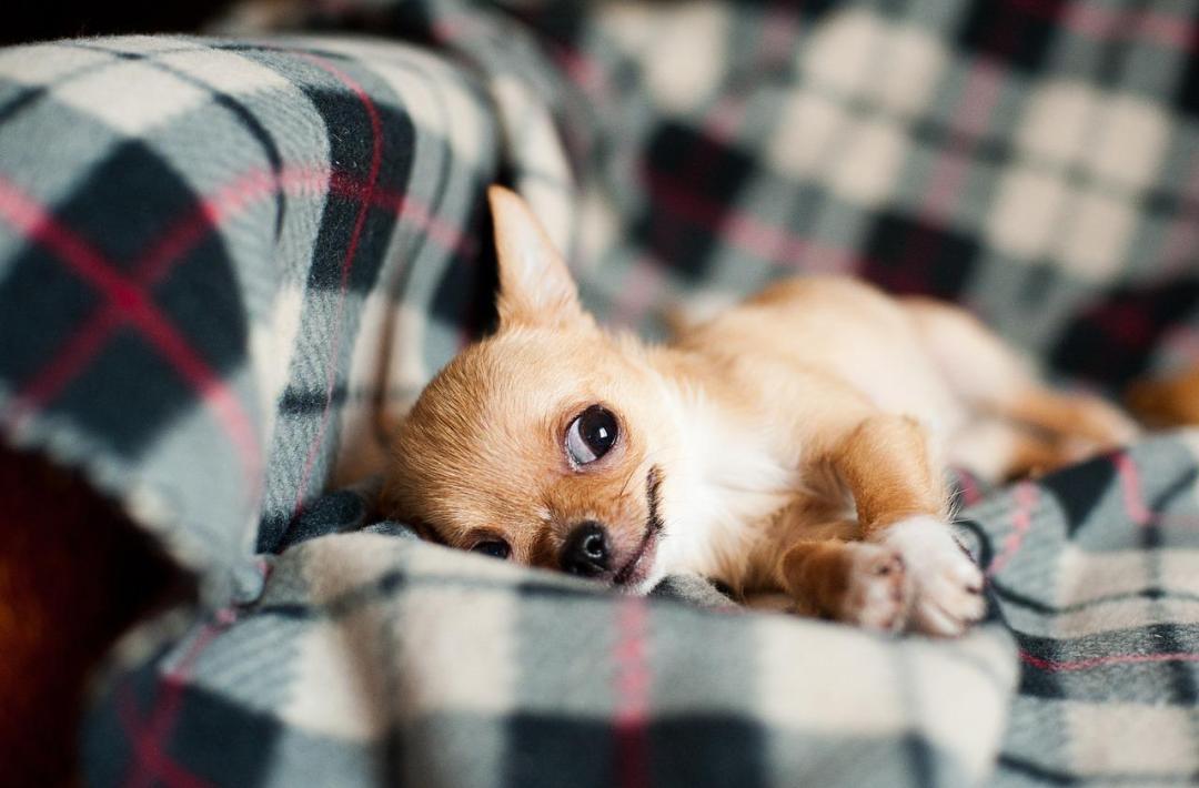 Chihuahua y el asma