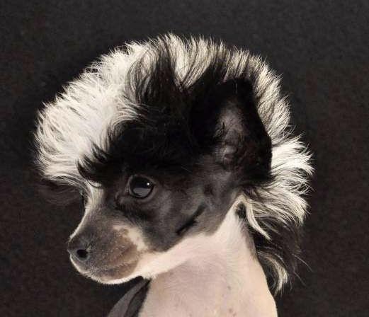 Lo malo del temperamento de un chihuahua