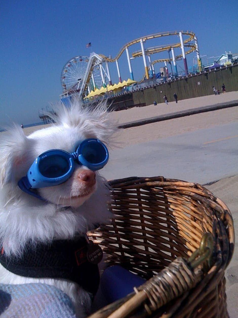 Chihuahua con gafas de sol
