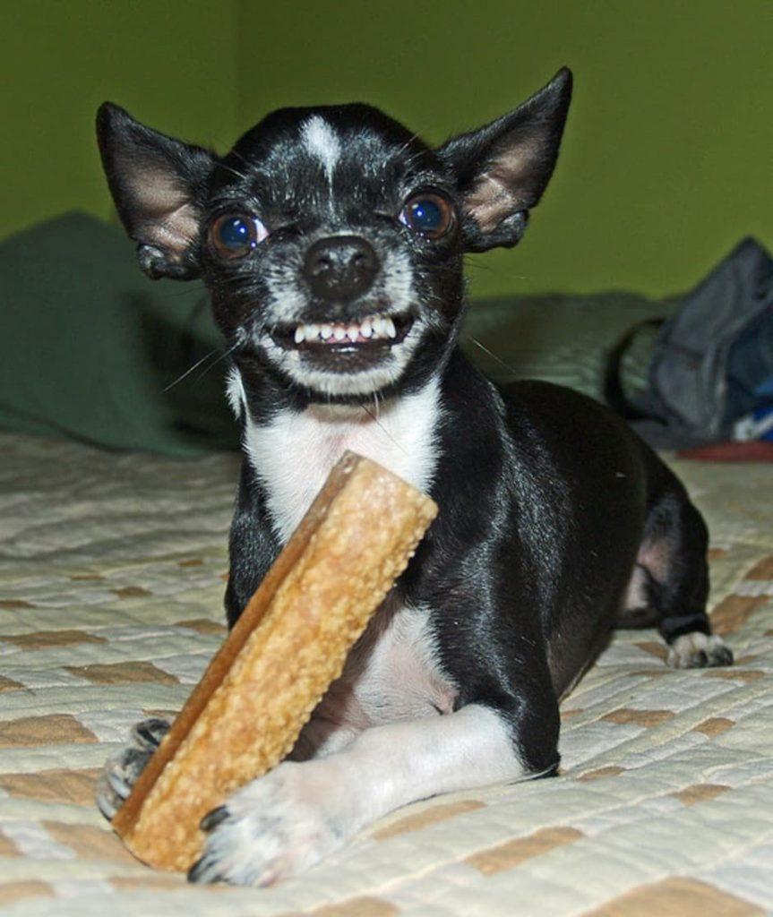 Cómo Lograr Que Tu Chihuahua Deje De Ladrar Para Chihuahuas