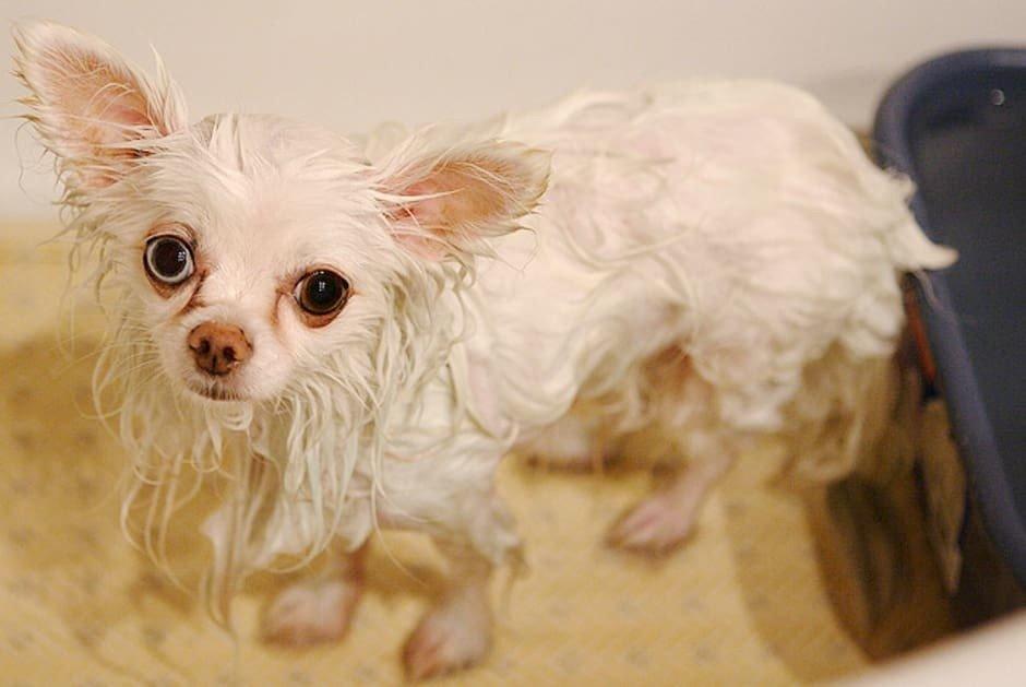 Chihuahua Mojado