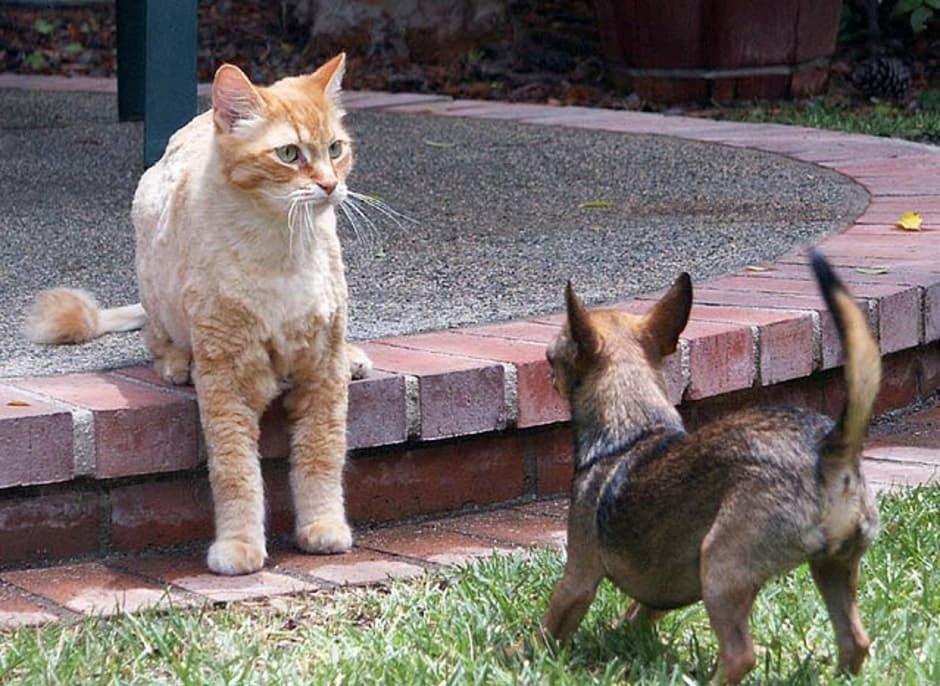 Chihuahua vs Gato