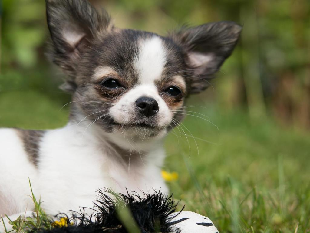 Curiosidades perro chihuahua
