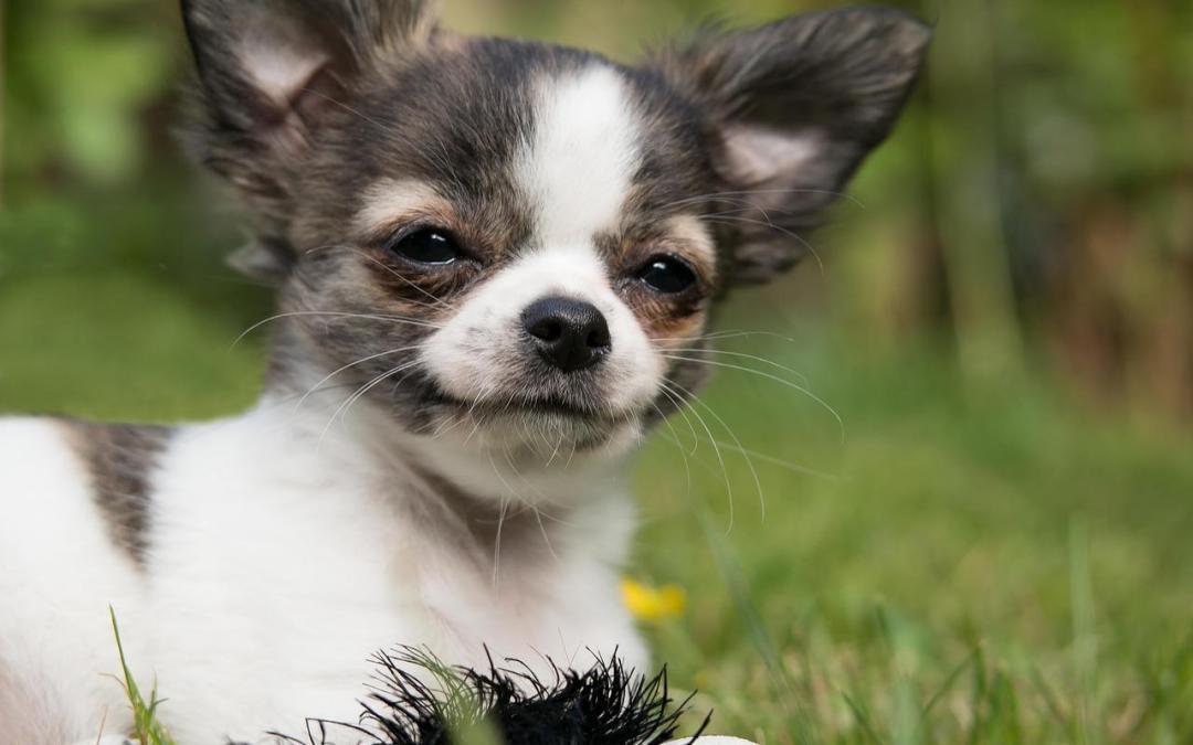 9 cosas que no sabías del perro chihuahua