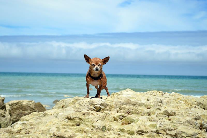 como llevar a tu chihuahua a la playa