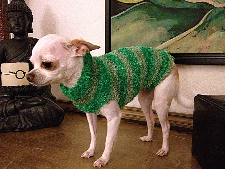 chihuahua con suéter