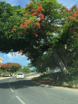 Flamboyant trees were in full bloom