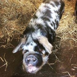 Paradise Cooperative Pigs4